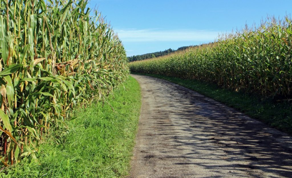 Did you know that maize is also a staple crop in Mozambique?