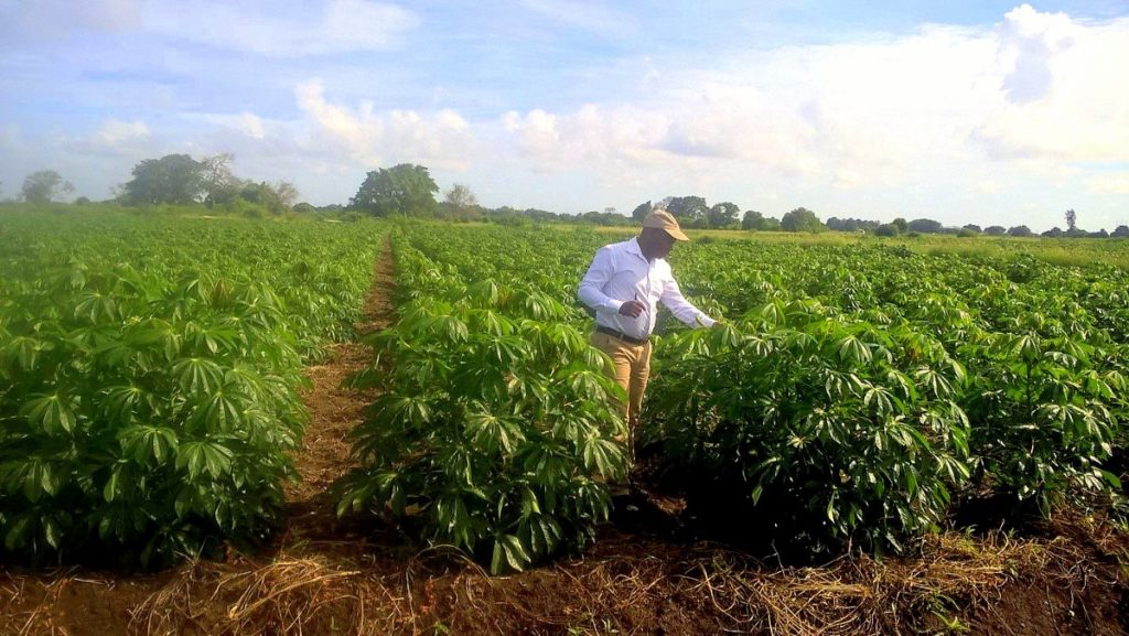 """Jeffrey at a cassava field. To increase the production of this crop, Jeffrey is using the resilient variety of cassava """"Chinhembwe"""" and a cultural and organic method of weed control rather than chemical herbicides. / ©Jeffrey Phiri"""